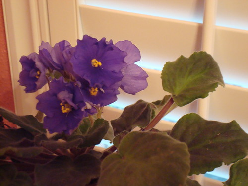 My Beautiful African Violets #1