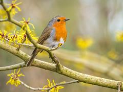 Robin in the Winter Garden (Maria-H) Tags: trafford england unitedkingdom gb robin erithacusrubecula dunhammassey wintergarden cheshire uk olympus omdem1markii panasonic 100400