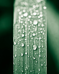 rising ([Adam Baker]) Tags: macro green nature rain vertical contrast canon leaf drops dof bokeh snap symmetry 5d cornell portfolio simple plantations adambaker 100mm28macro hggt petob