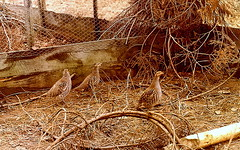 Scan Of An Old Faded Print.Gray Partridges In The Breeding Pens.Curraghmore.1978. (Blue Melanistic.Twelve Million Views.) Tags: game english birds print gray scan faded breeding pens tyrone partridges melanistic