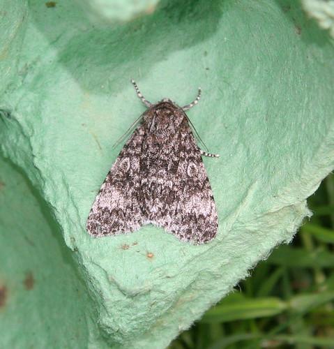 Poplar Grey (Acronicta megacephala)