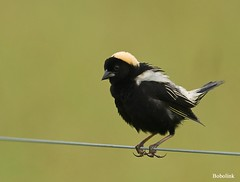 Bobolink, 6-20-09, PA by Kelly.Colgan.Azar