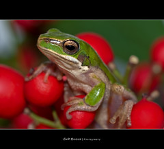 It's Not Easy Being Green.. (Cass n Dan) Tags: red plants pet macro green nature animal garden eyes nikon wildlife small amphibian brisbane frog queensland treefrog kermit greentreefrog kermitthefrog d90 frogmacro freddofrog specanimal anawesomeshot nikond90 macrolife vosplusbellesphotos cassndan