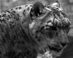 Snow leopard: San Francisco Zoo (dbillian) Tags: cats animal animals cat zoo feline san francisco leopard bigcat felines damon bigcats snowleopard zoos leopards snowleopards damonbillian billian