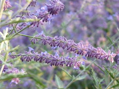 Russian Sage after a rain (yooperann) Tags: flowers summer illinois grove condos forestpark townhouses residences residencesatthegrove