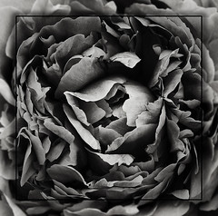Black beauty (*Glueckskind*) Tags: blackandwhite flower blume schwarzweiss pfingstrose blackwhitephotos topseven
