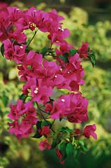 Bougainvillae (36850014) (Fadzly @ Shutterhack) Tags: leica flower macro film analog nikon malaysia bloom terengganu kualaterengganu bougainvillae my leicar6 kodakultramax400 fadzlymubin summicron35mmf20 shutterhack