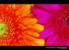 Colors (Smevin Paul - Thrisookaran !! www.smevin.com) Tags: pink flowers orange india flower color water paul photography drops nikon photos drop dew tamilnadu kodaikanal smevin smevinpaul d40x malayalikkoottam smevins thrisookaran