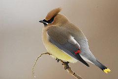 Cedar Wax Wing (endlessreach1) Tags: winter nj cedar capemaypoint capemay waxwing cedarwaxwing nikond200 supershot physis friendoffriends carlshaw naturethroughthelens mygearandme mygearandmepremium mygearandmebronze mygearandmesilver mygearandmegold onlythebestofnature ringexcellence dblringexcellence tplringexcellence newjerseytnc10 photocontesttnc11 birdstnc11 eltringexcellence endlessreach1 allofnatureswildlifelevel1 allofnatureswildlifelevel2 allofnatureswildlifelevel3 allofnatureswildlifelevel4 allofnatureswildlifelevel5 allofnatureswildlifelevel8 allofnatureswildlifelevel6 allofnatureswildlifelevel7 allofnatureswildlifelevel9 allofnatureswildlifelevel10