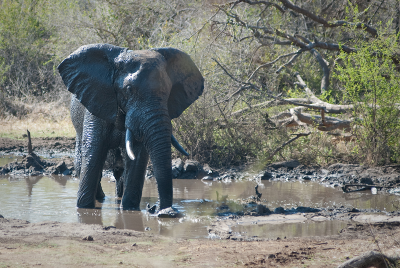 Elephant in Watering Hole