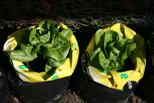 Growing lettuce in a bag
