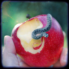 temptation, taste, venom (dogfaceboy) Tags: apple fruit snake explore snack tempted numberfour explwhore survivorflickrisland thesesnakesnacktastelikechicken snakesnark howcouldiforgetthesnake snacksnake