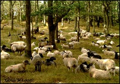 Relaxxxxx (Kirsten M Lentoft) Tags: nature animals denmark sheep lovely bornholm naturesfinest youtoo bej hammeren cuuuuuuuuuuute kirstenmlentoft greaaaaaaaaaat ifixed34oct
