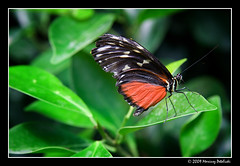 Bornholms Sommerfuglepark (Mariusz Petelicki) Tags: butterfly island balticsea bornholm motyl nexo wyspa mariuszpetelicki bornholmssommerfuglepark parkmotyli