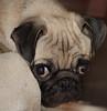 Dog Face (netman007 (Andre` Cutajar)) Tags: blackandwhite orange dog brown cute nice expressions malta andre peaches cutajar netman007