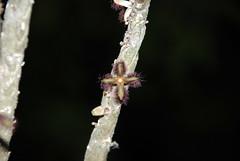 3 octobre 2009 - Rhytidocaulon ciliatum YEM 87 (Mafate79) Tags: ciliatum rhytidocaulon asclepiadaces
