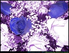 Blue wedding (*-_DaoRyaN_GriFfiThS_-*) Tags: blue wedding 2 roses photoshop photo foto shot kodak boda picture 9 pic alberto susana filters dao rosas easyshare azules griffiths filtros daoryan