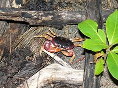 Con nocturnidad y alevosía (Carlos Luna) Tags: costarica crab playa vacaciones cangrejos cahuita cangrejo puertoviejodetalamanca costarica2009 villasdelcaribe