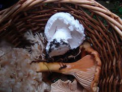 Western Woodland Aminita and Chanterelle (Seattle.roamer) Tags: mushroom coral woodland hiking western crested sopp amanita chanterelle crispa pscs cristata aminita sparassis cauliflowermushroom silvicola cavulina