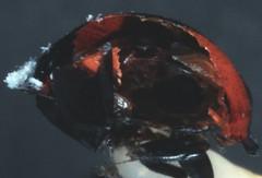 20  6282 -840002 -640 (h35312) Tags: 20  640 coleoptera swartz coccinellidae 6282  lemnia 840002     biglagiata