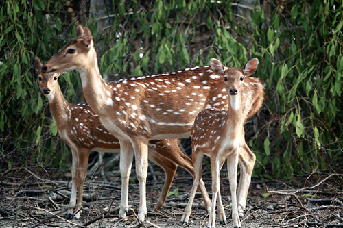Spotted Deer (Axis axis)