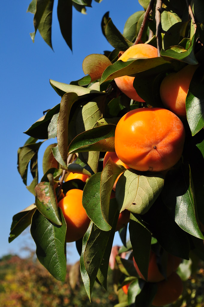Asian Persimmon (Diospyros kaki) 10