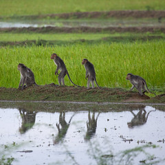 Macaques in a paddy field - India (Eric Lafforgue) Tags: india animal monkey indie monkeys indi indien hind indi inde hodu singe indland  hindistan indija   ndia hindustan   7855   hindia  bhrat  indhiya bhratavarsha bhratadesha bharatadeshamu bhrrowtbaurshow  hndkastan