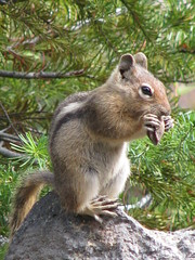 Golden-mantled Ground Squirrel (ccindigirard) Tags: friends nature naturesbest aclass goldenmantledgroundsquirrel photosmiles theworldthroughmyeyes bej natureplus abigfave impressedbeauty diamondclassphotographer flickrdiamond earthhome naturewatcher adorablecritters everydayissunday qualitypixels onlyanimals soloanimales worldnaturewildlifecloseup wildlifeaward empyreanfauna enchantments2009