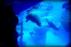 Sealions, Toba Aquarium