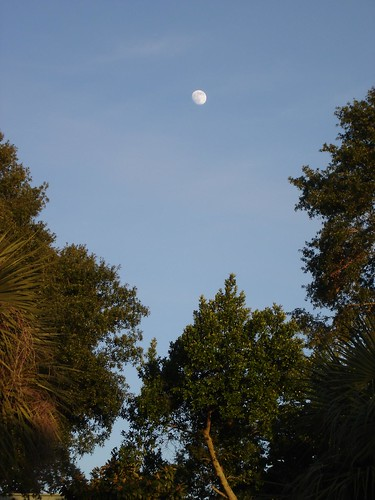 Treetops and moon
