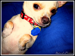 Chances (AlexandraCrazy) Tags: dog chihuahua puppy little prince cutie chance blankie paws collar