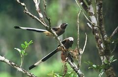 Sumatran Treepie (Arddu) Tags: sumatra indonesia corvid treepie dendrocitta fbwnewbird fbwadded sumatrantreepie dendrocittaoccipitalis