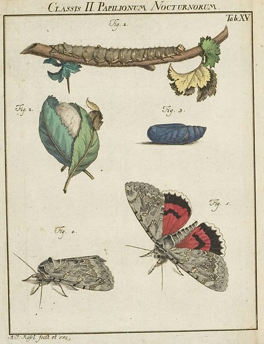 Classis I Papilionum Noctornum (Noctua nupta) V.1