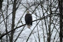 Eagle (bbirmingham) Tags: eagle bald skagit eagles