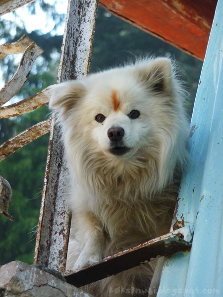 Small Yappy Type Dog in Dalhousie