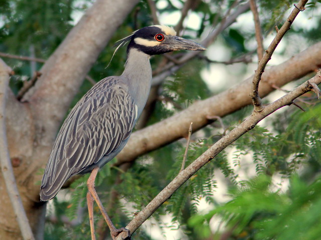 Yellow-crowned Night-Heron 7-20110526