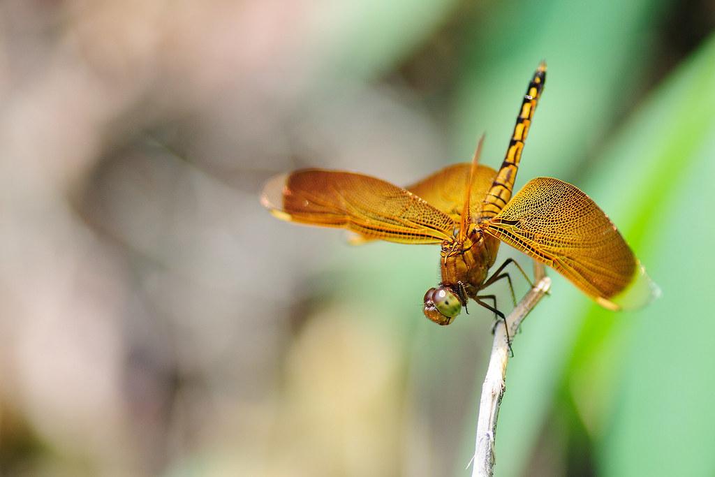 善變蜻蜓(雌) Neurothemis ramburii