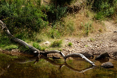 (Laszlo Papinot) Tags: bacchusmarsh lerderdergstatepark water river crossing tree bush vegetation branch path rock stone reflection lerderdergriver