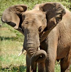 in mid flap (JuttaMK) Tags: africa elephant tanzania tarangire supershot bfgreatesthits mauekay
