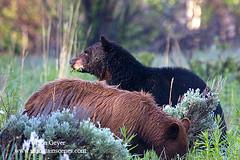 Black Bears (Don Geyer) Tags: bear wild nature animal mammal natural wildlife environment habitat blackbear ursusamericanus omnivore