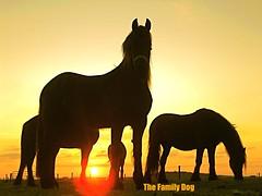 eternal sunshine (The Family Dog) Tags: horses horse cheval caballos cavalos pferde equine equines cheveaux tropilla