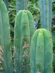 T bridgesii KGC (msscacti) Tags: cactus cacti cactaceae echinopsis trichocereus