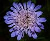Blue flower (WaterBugsPics) Tags: blue wild nature beautiful wildflower flowerorfoliagedetail natureasphotographicart phoddastica nossasfloresourflowers macrolifechallenges
