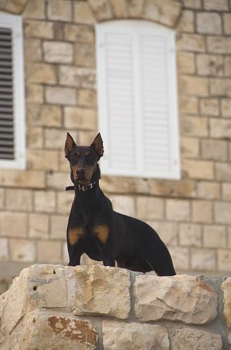 Guard Dog - Tsfat, Israel