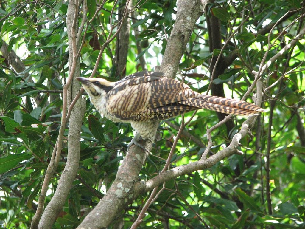 the world u0027s best photos of birds and centropusphasianinus flickr