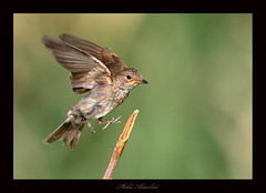 spotted fly catcher  (mohammad khorshid (boali)) Tags: birds canon fly wildlife spotted kuwait catcher 4l q8  mark2 kwt    600mm    1dmk2n specanimal      thewonderfulworldofbirds