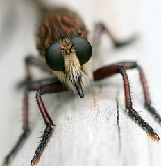 Robber Fly (Vincent Parsons) Tags: insectsandspiders