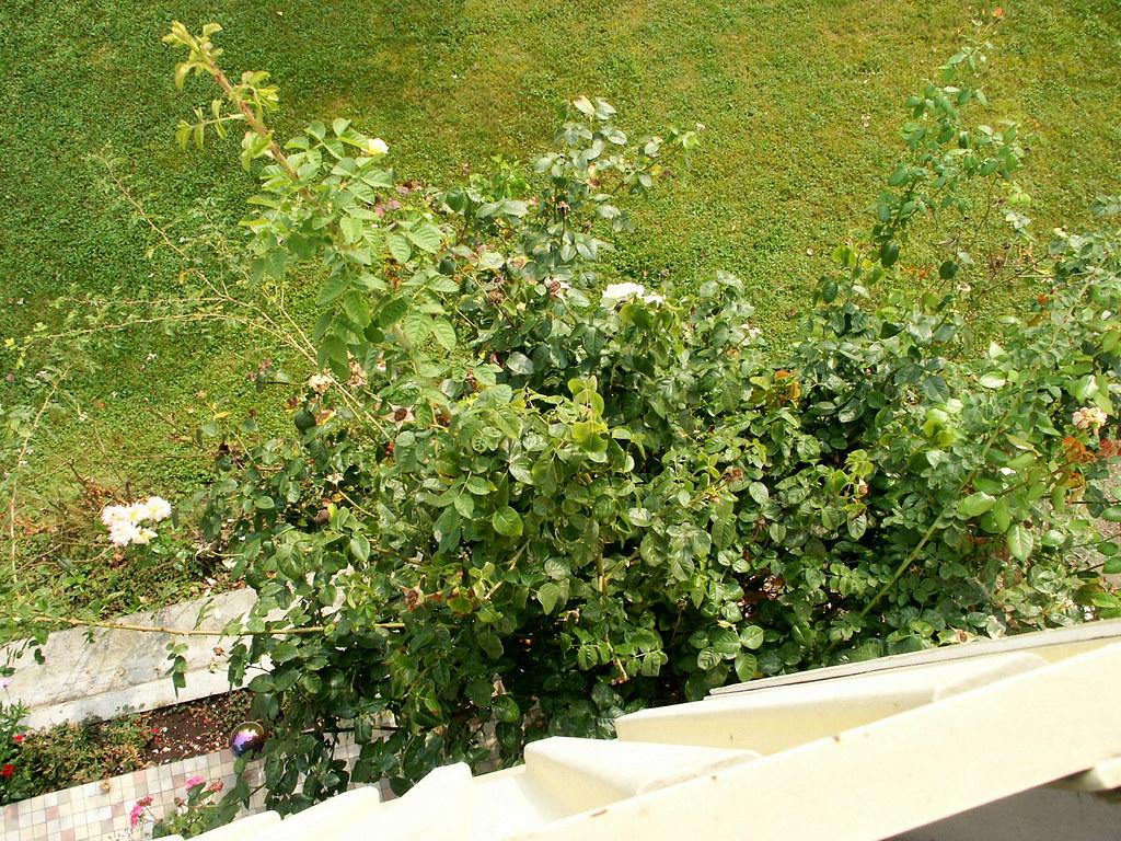 The Worlds Newest Photos Of Garten And Rosenstrauch Flickr Hive Mind