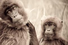 20090901-IMG_1266 (Robin100) Tags: africa animal mammal baboon ethiopia primate baboons gelada geladababoon guassa guassaplateau