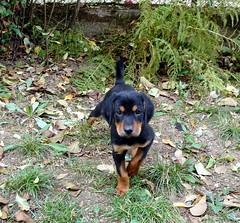 házőrző / watchdog (debreczeniemoke) Tags: dog puppy hound watchdog frakk kiskutya kopó transylvanianhound házőrző erdélyikopó transylvanianbloodhound